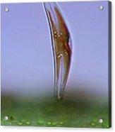 Diatom, Light Micrograph Acrylic Print by Science Photo Library