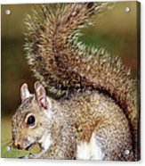 Eastern Gray Squirrel Acrylic Print by Millard H. Sharp