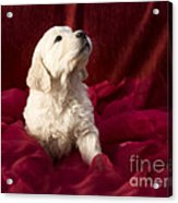 Golden Retriever Puppy Acrylic Print by Angel  Tarantella