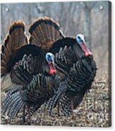 Jake Eastern Wild Turkeys Acrylic Print by Linda Freshwaters Arndt