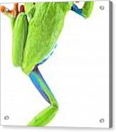 Red Eyed Tree Frog Acrylic Print by Dirk Ercken