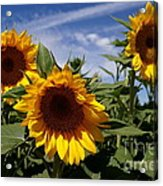 3 Sunflowers Acrylic Print by Kerri Mortenson