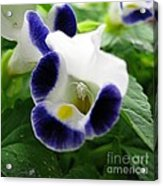 Torenia From The Duchess Mix Acrylic Print by J McCombie