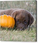 Chocolate Labrador Puppy Acrylic Print by Linda Freshwaters Arndt