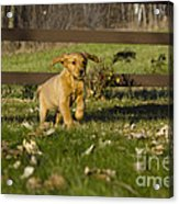Golden Retriever Pup Acrylic Print by Linda Freshwaters Arndt