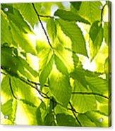 Green Spring Leaves Acrylic Print by Elena Elisseeva