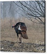 Male Eastern Wild Turkey Acrylic Print by Linda Freshwaters Arndt