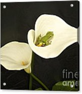 Pacific Tree Frog Acrylic Print by Sean Griffin