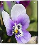 Viola Named Sorbet Marina Baby Face Acrylic Print by J McCombie
