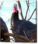 Wild Turkey Acrylic Print by Thea Wolff