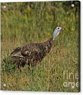 Eastern Wild Turkey Acrylic Print by Linda Freshwaters Arndt