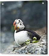 Puffins Acrylic Print by Heiko Koehrer-Wagner