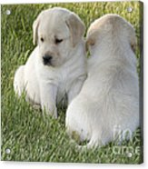 Yellow Labrador Puppy Acrylic Print by Linda Freshwaters Arndt