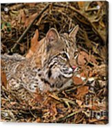 611000006 Bobcat Felis Rufus Wildlife Rescue Acrylic Print by Dave Welling