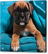 little Boxer dog puppy Acrylic Print by Doreen Zorn