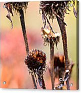 Wilted Flower  Acrylic Print by Toppart Sweden