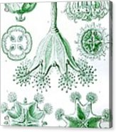 A Collection Of Stauromedusae Acrylic Print by Ernst Haeckel