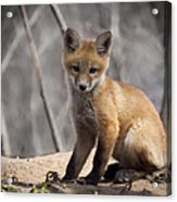 A Cute Kit Fox Portrait 1 Acrylic Print by Thomas Young
