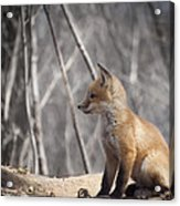 A Cute Kit Fox Portrait 2 Acrylic Print by Thomas Young