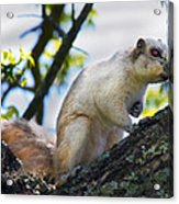 A Fox Squirrel Pauses Acrylic Print by Betsy Knapp