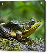 A Frog Is Forever Acrylic Print by Christina Rollo
