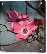A Kiss Of Pink Acrylic Print by Mary Zeman