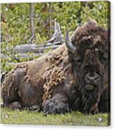 A Lot Of Bull Acrylic Print by Charles Warren