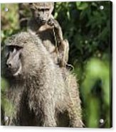 A Monkey And Its Baby Sitting On Her Acrylic Print by Diane Levit