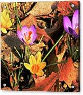 A New Season Blooms Acrylic Print by Karol Livote