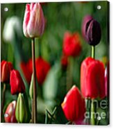A Tapestry Of Tulips Acrylic Print by Nick  Boren