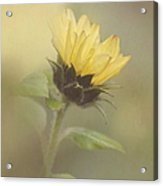 A Whisper Of A Sunflower Acrylic Print by Angie Vogel