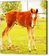 A Young Foal Acrylic Print by Jeff Swan
