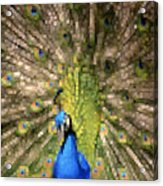 Abstract Peacock Digital Artwork Acrylic Print by Georgeta Blanaru