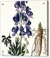 Aconitum Napellus Acrylic Print by LFJ Hoquart