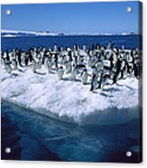 Adelie Penguins On Icefloe Antarctica Acrylic Print by Colin Monteath