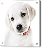 Adorable Yellow Lab Puppy Acrylic Print by Diane Diederich