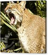 Adult Florida Bobcat Acrylic Print by Anne Rodkin