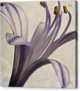 Agapanthus Africanus Star Acrylic Print by John Edwards