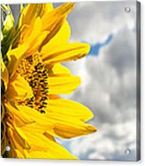 Ah Sunflower Acrylic Print by Bob Orsillo