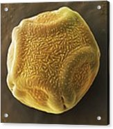 Alder Tree Pollen Grain, Sem Acrylic Print by Power And Syred