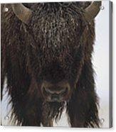 American Bison Portrait Acrylic Print by Tim Fitzharris