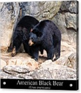 American Black Bear  Acrylic Print by Chris Flees