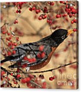 American Robin Eating Winter Berries Acrylic Print by Inspired Nature Photography Fine Art Photography