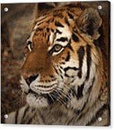Amur Tiger 2 Acrylic Print by Ernie Echols