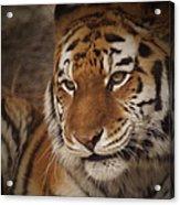 Amur Tiger 4 Acrylic Print by Ernie Echols