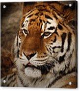 Amur Tiger Acrylic Print by Ernie Echols