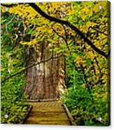An Old Growth Douglass Fur In The Grove Of The Patriarches Mt Rainer National Park Acrylic Print by Jeff Swan