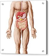 Anatomy Of Human Digestive System, Male Acrylic Print by Stocktrek Images