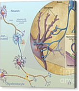 Anatomy Of Neurons Acrylic Print by Carlyn Iverson