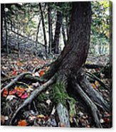 Ancient Root Acrylic Print by Natasha Marco